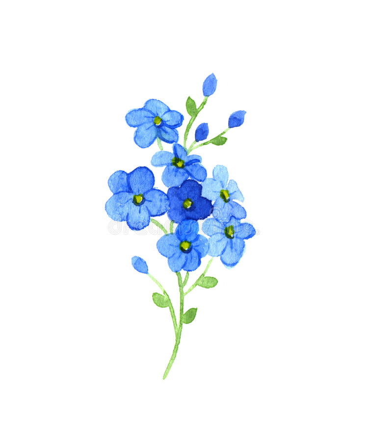 Flowers forget-me. Me-nots flowers on a white background. Watercolor