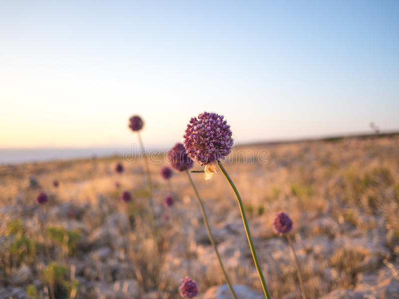 The Flowers of Formentera. Beautiful flowers in the Barbaria cape, Formentera, Spain royalty free stock photography