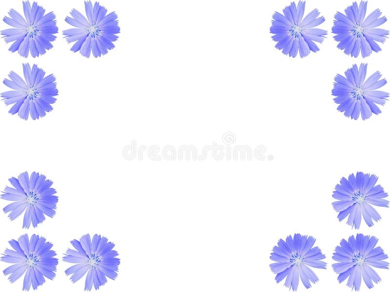 Flowers frame from blue Cichorium intybus, chicory. Bright blue wildflower Common chicory or Cichorium intybus isolated on white background flower frame. Flowers royalty free stock photography