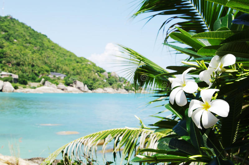 Flowers frangipani in foreground sea tropical landscape. Koh Samui, Thailand. Tropical flowers frangipani against bay Thongtakian, Koh Samui, Thailand royalty free stock photography