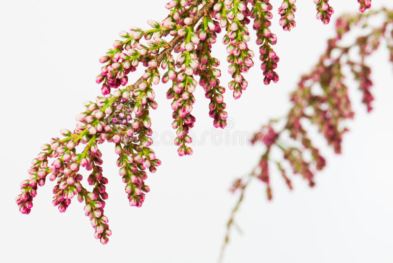 Flowers of a French Tamarisk, isolated stock photo