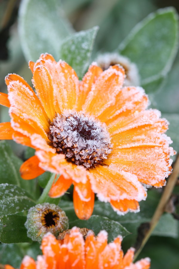 Flowers with Frost. Frost covering orange flowers in the fall stock photo