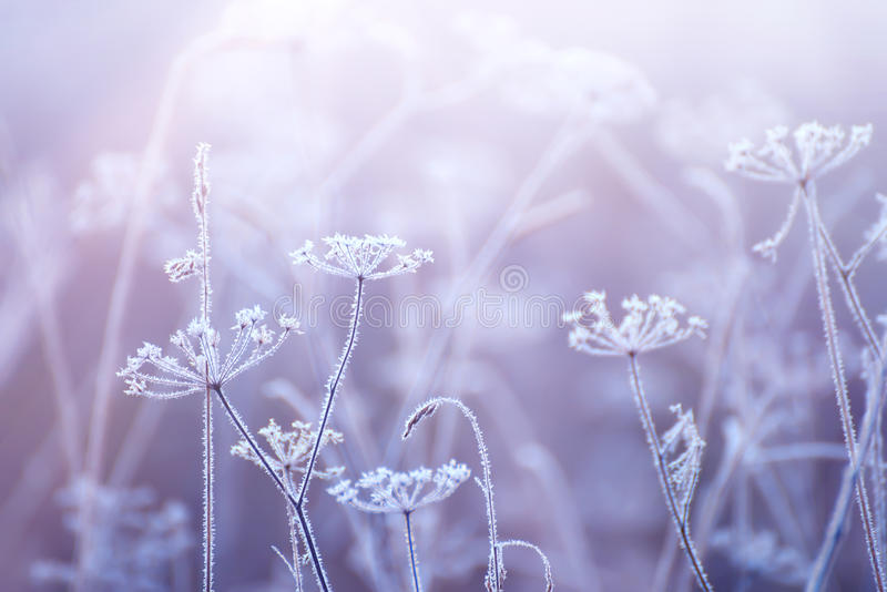 Flowers in the frost with a gentle morning light. Delicate dried flowers in the frost. Soft gentle morning light in the haze. Very soft focus royalty free stock photos