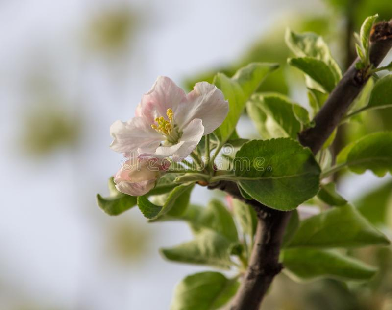 Flowers on a fruit tree in spring stock photography