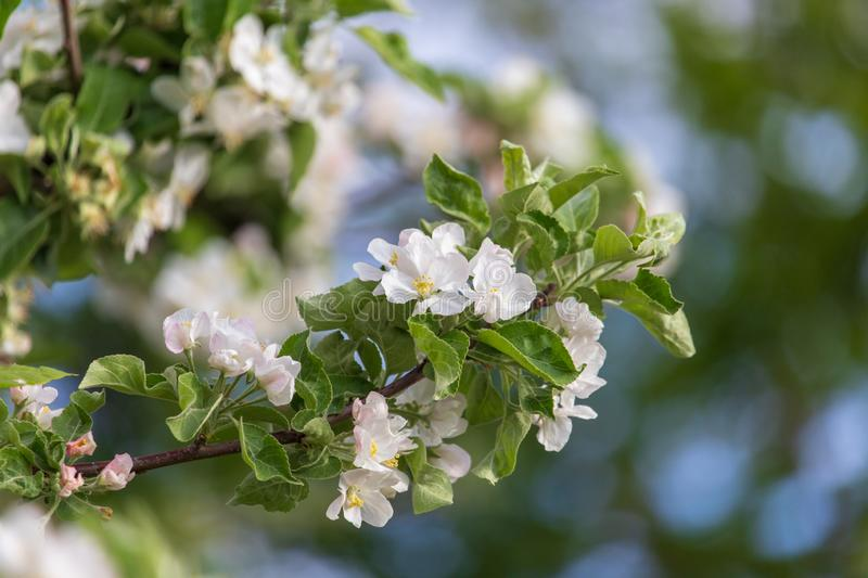 Flowers on a fruit tree in spring royalty free stock photo