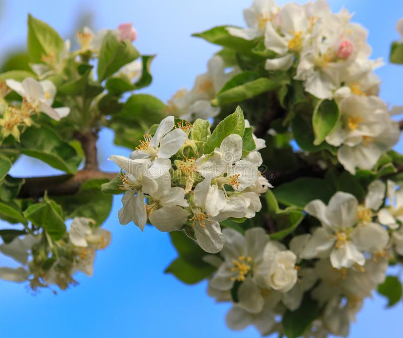 Flowers on a fruit tree in spring stock images