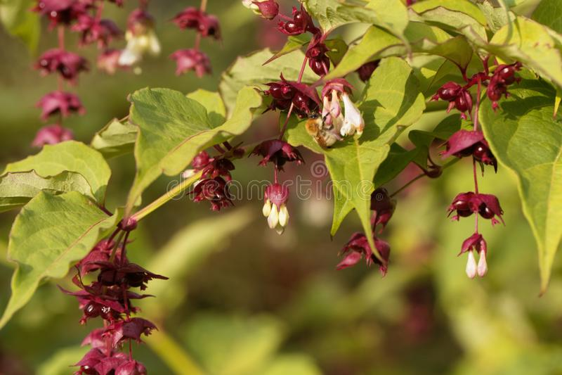 Himalayan honeysuckle Leycesteria formosa. Flowers and fruits of a Himalayan honeysuckle Leycesteria formosa stock image