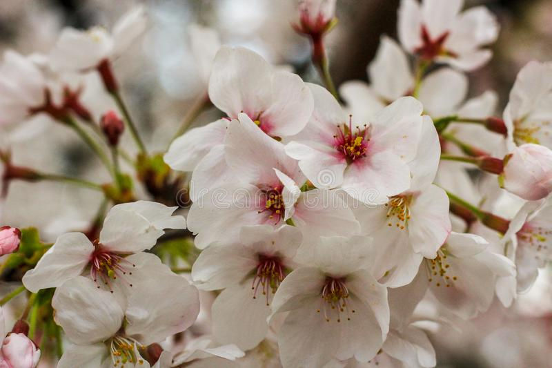 White Cherry Blossoms close upJapanese White Cherry Blossoms  in full bloom, beautiful flowers for spring close up. Flowers in full bloom close up Japanese White royalty free stock photo