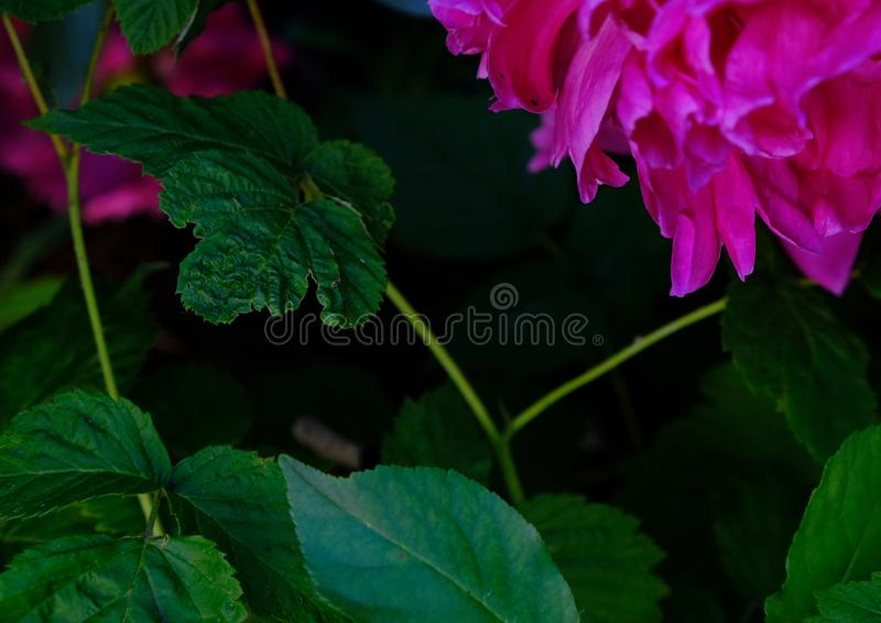 Flower peony bright pink stock photography