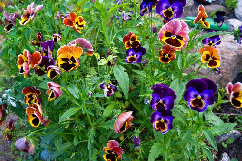 Flowers in the garden - viola, violet, pansies. stock images
