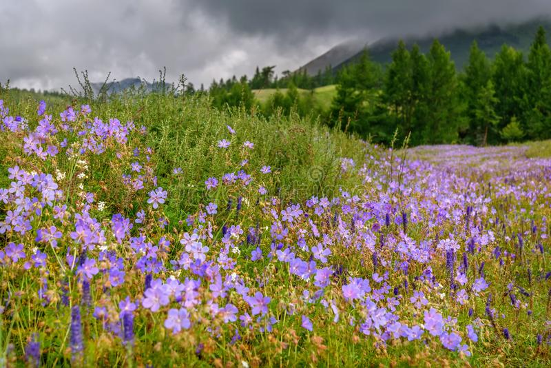 Flowers geranium meadow mountains slope cloudy royalty free stock images