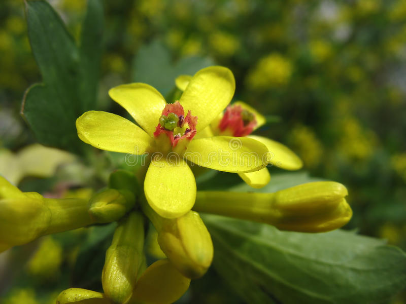 Flowers of golden currant (Ribes aureum) stock photography