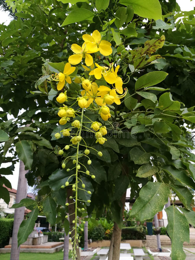 Flowers of Golden shower tree royalty free stock images