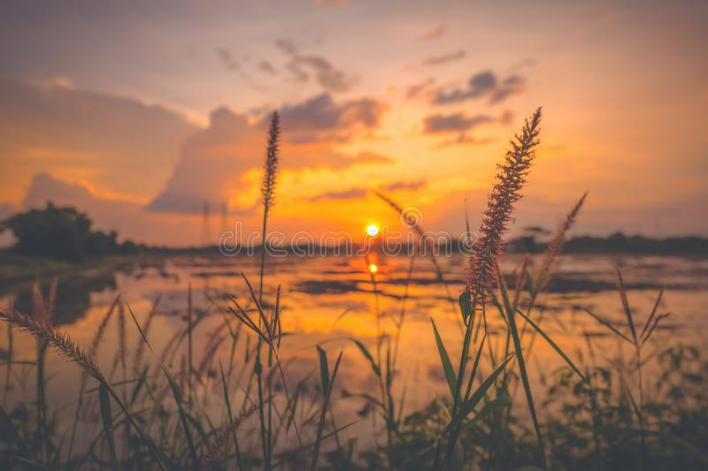 The Flowers grass near farm field harvest.landscape scene of sunrise sunset over a farm field after harvest. Sun breaks through royalty free stock photo