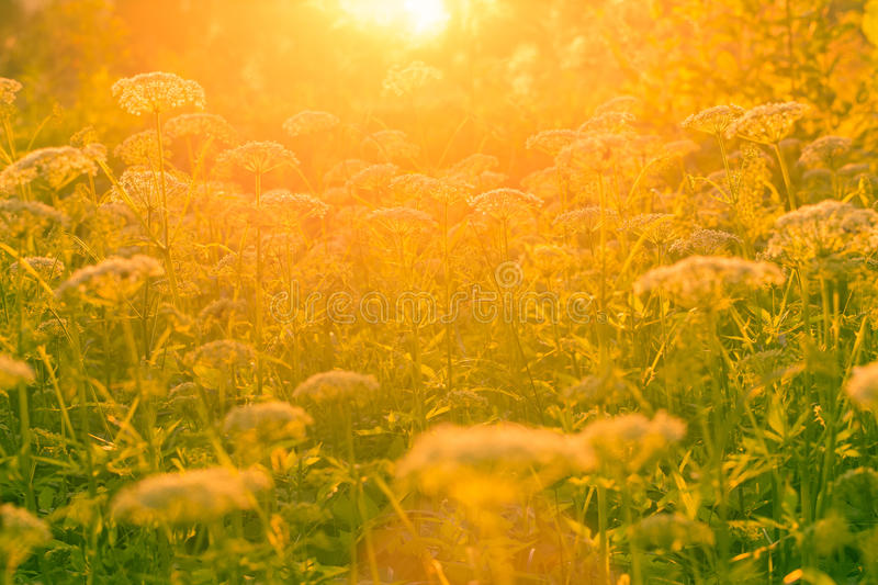 Flowers and grass in the sunlight. On sunset stock image
