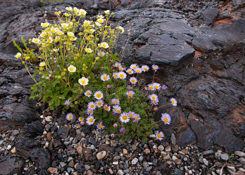 Flowers growing on lava in Craters of the Moon