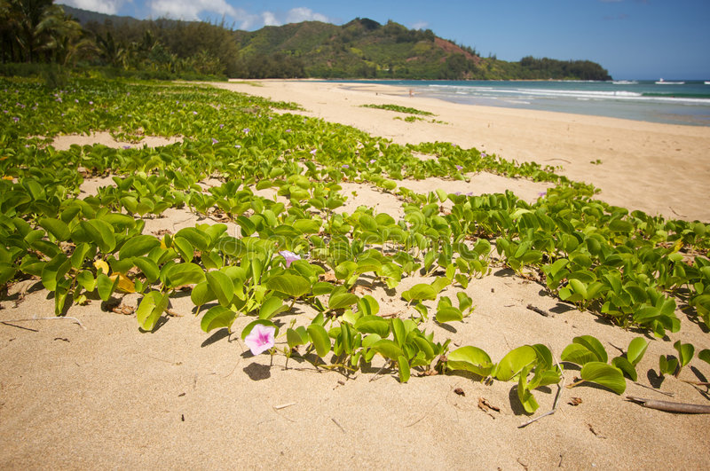 Download Flowers On The Hanalei Bay Beach. Stock Photo - Image: 5382606