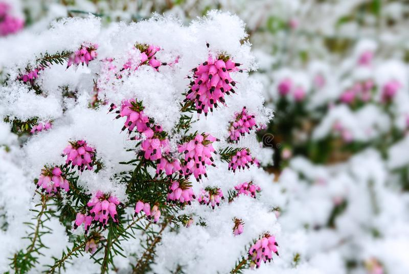 Flowers of heather and snow crystals royalty free stock photos