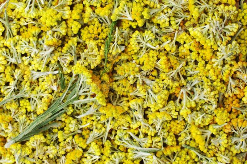 Flowers of helichrysum arenarium closeup. Bright yellow flower background. stock photography