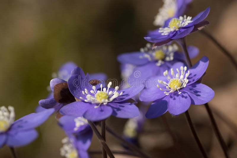 Flowers hepatica. royalty free stock photos