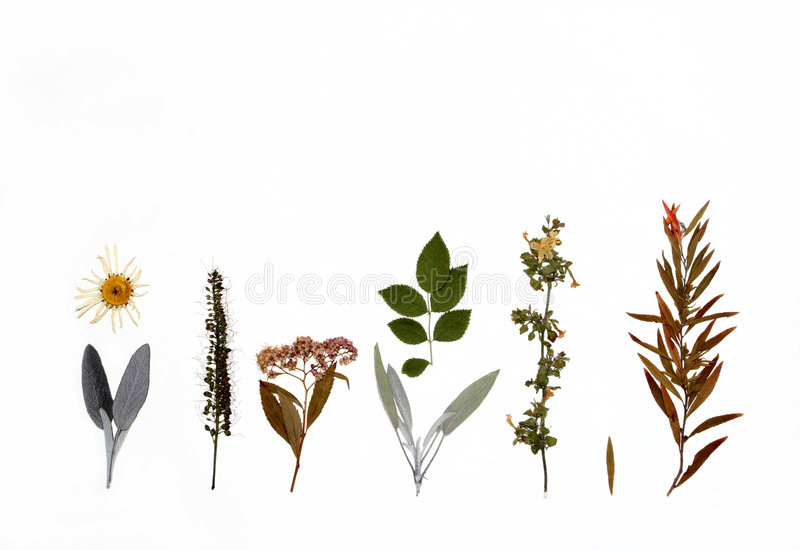Flowers, Herbs and Plants of Autumn. Design of dried autumn flowers, herbs and plants against a white background royalty free stock photos