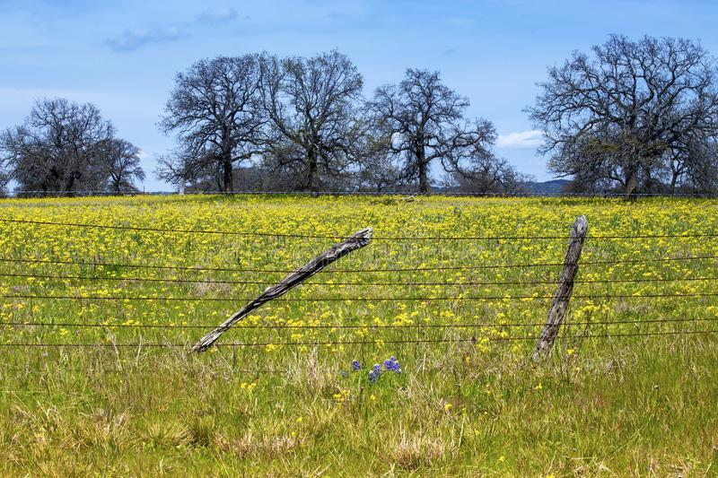 Flowers in Hill Country on Willow City Loop Road, Texas. Yellow flowers with blue sky royalty free stock images