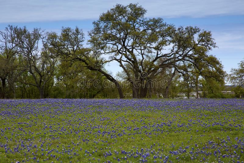 Flowers in Hill Country on Willow City Loop Road, Texas. Purple flowers with blue sky royalty free stock image