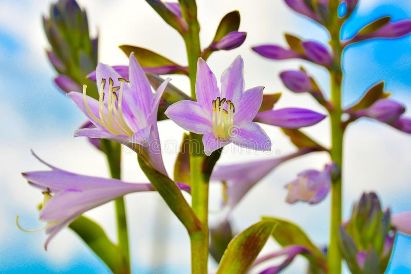 Flowers Hostas on a background of blue sky. Natural background, blank for greeting card, poster and design stock image