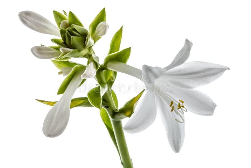 Flowers Hosts, isolated on white background. Flowers Hosts, lat. Hosta, isolated on white background stock photos