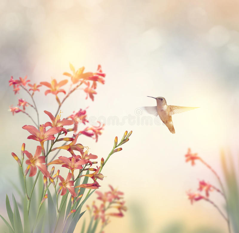 Flowers and a hummingbird. Crocosmia Flowers and a hummingbird stock image