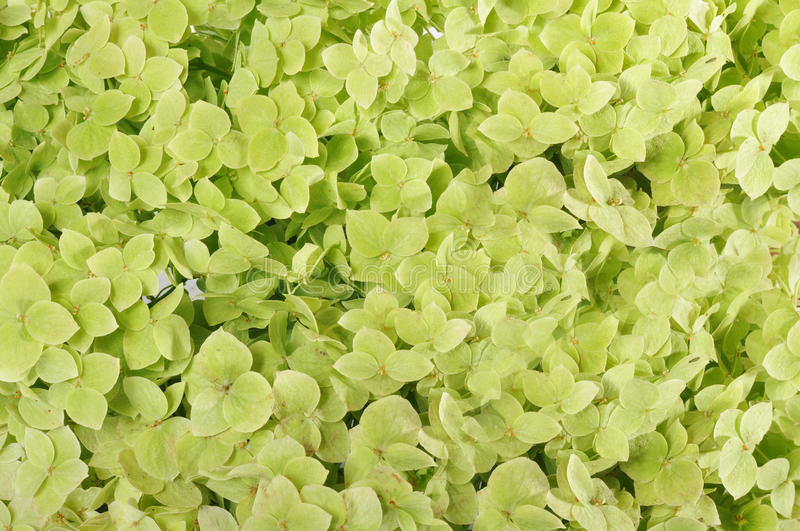 Download Flowers of a hydrangea stock photo. Image of green, dense - 26035242