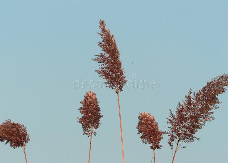 Flowers of Indian grass Sorghastrum nutans stock image