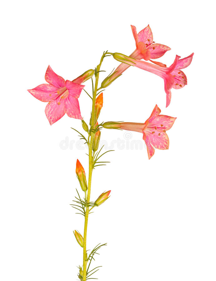 Flowers of Ipomopsis aggregata Hummingbird mix isolated on white. Single stem with light-red flowers of Ipomopsis aggregata cultivar Hummingbird, also called stock images