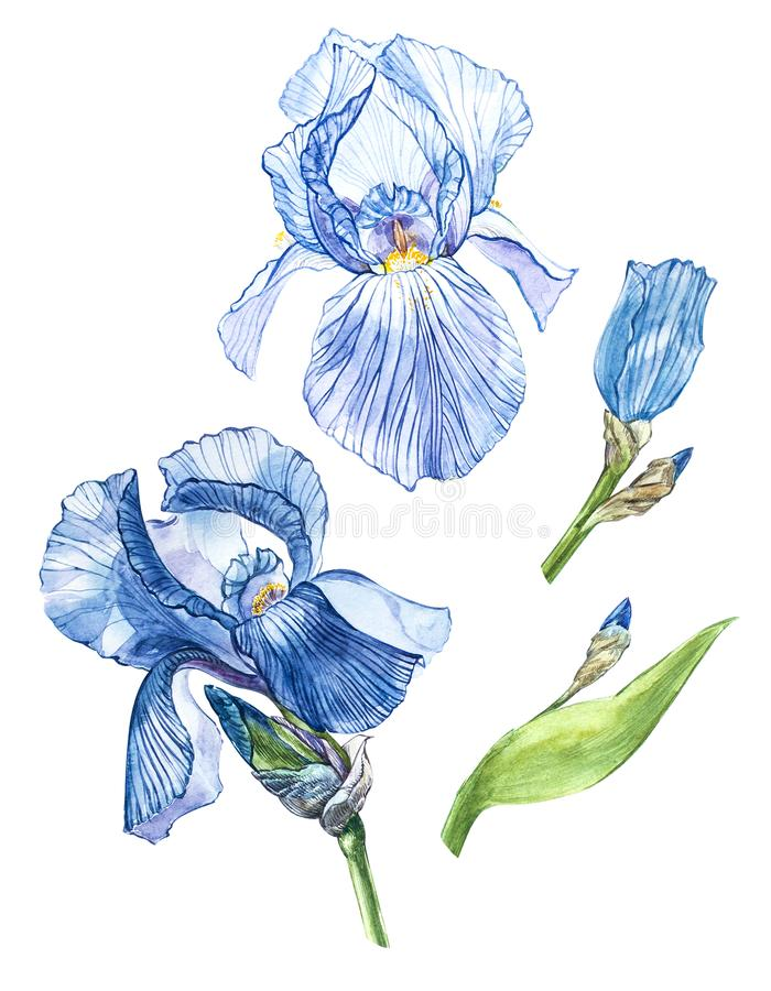 Flowers of Iris. Watercolor hand drawn botanical illustration of flowers isolated on a white background. Flowers of Iris. Watercolor hand drawn botanical vector illustration