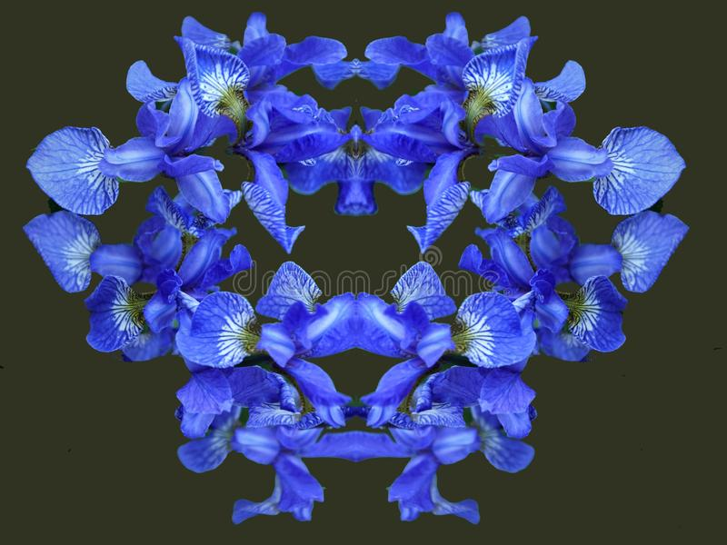 Flowers irises. Bloom. Colors of summer. Petals of flowers. Blue. Bright. Drops of dew branch royalty free stock photos