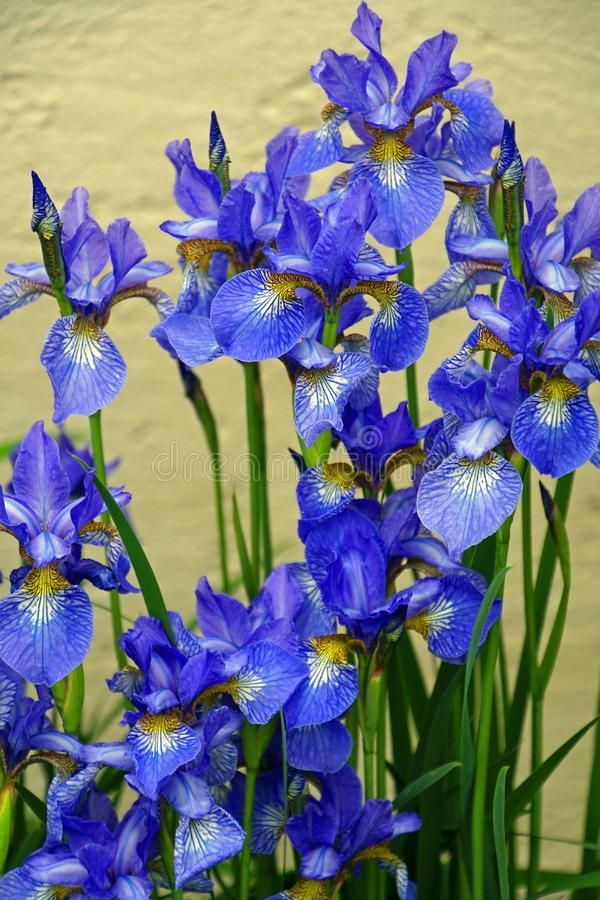 Flowers irises. Bloom. Colors of summer. Petals of flowers. Bright. Drops of dew branch stock photography