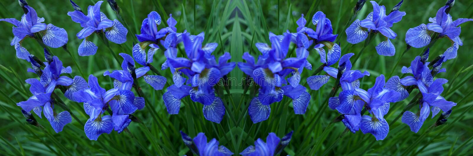 Flowers irises. Bloom. Colors of summer. Petals of flowers. Blue. Bright. Drops of dew branch royalty free stock photography