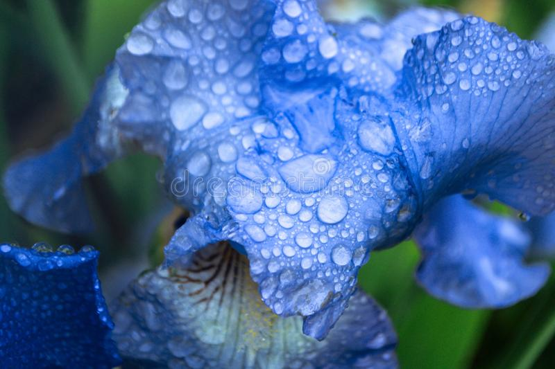 Flowers irises. Flowering irises with drops of water after rain, background, blue, nature, garden, green, plant, bloom, spring, white, purple, blooming, summer stock photography