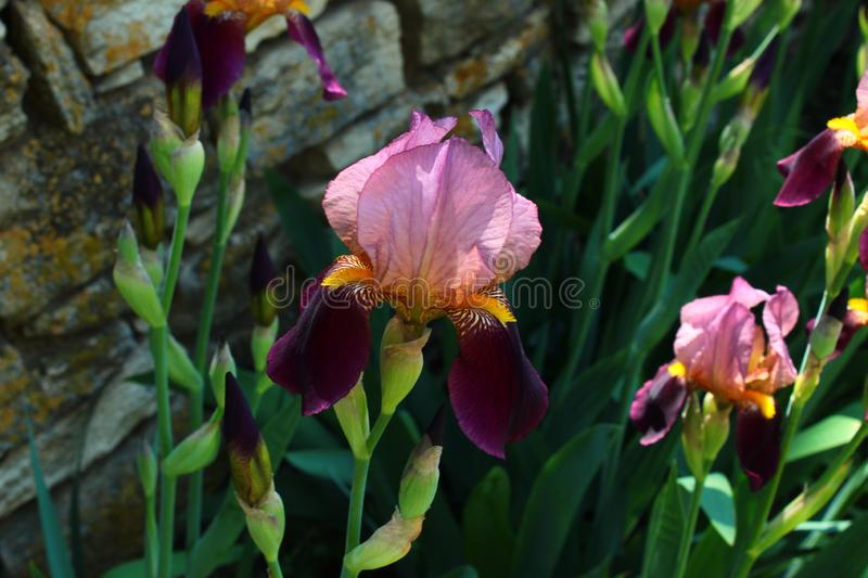 flowers irises in the park stock image