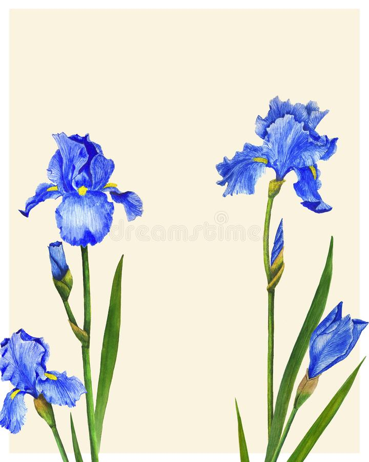 Flowers Irises watercolor spring Botanical design illustration greeting card invitation decoration. Illustration Irises flowers watercolor painting botanical stock illustration