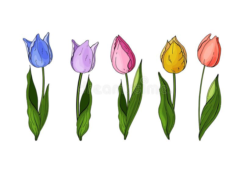 Flowers isolated on background. Vector. Hand drawn vector colorful tulips set. stock illustration