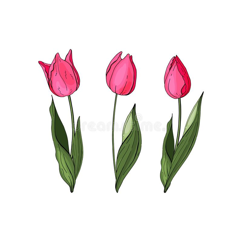 Hand drawn vector colorful tulips set. Flowers isolated on background. Vector stock illustration