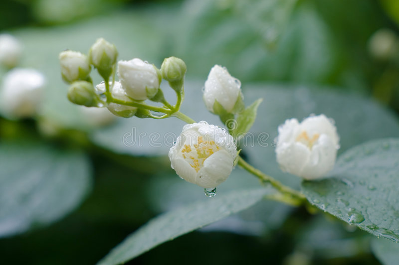 Flowers of jasmin after rain. Flowers of jasmin after fresh rain royalty free stock photos