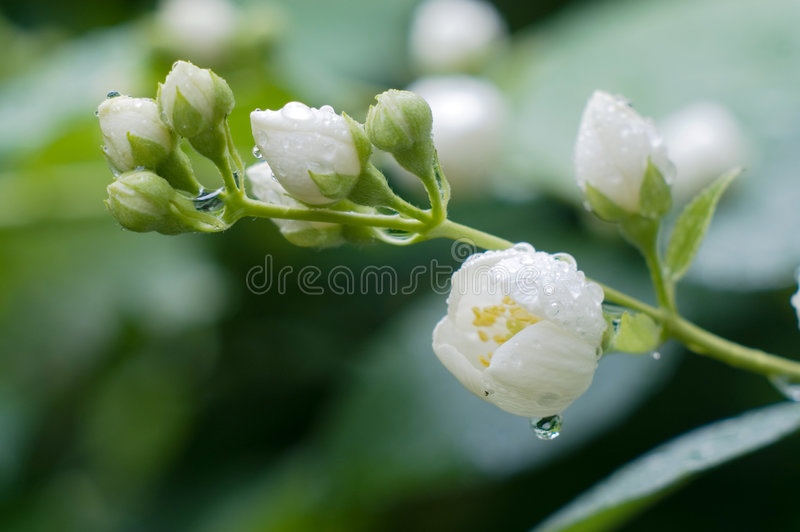 Flowers of jasmin after rain. Flowers of jasmin after fresh rain stock image