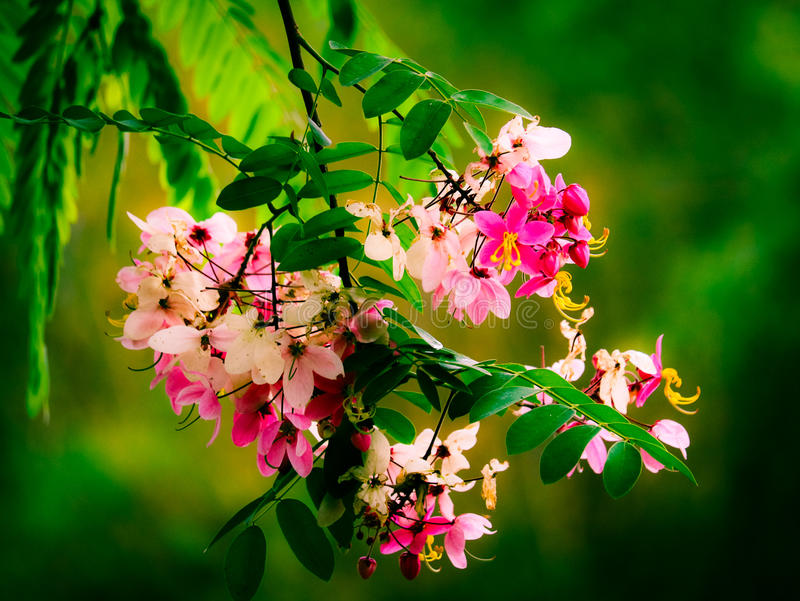 Flowers java cassia royalty free stock images