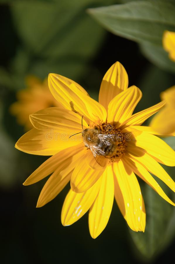 Flowers of the jerusalem artichoke in late fall. Yellow flowers of the Helianthus tuberosus plant in the autumn in my organic vegetable garden being pollinated royalty free stock photo