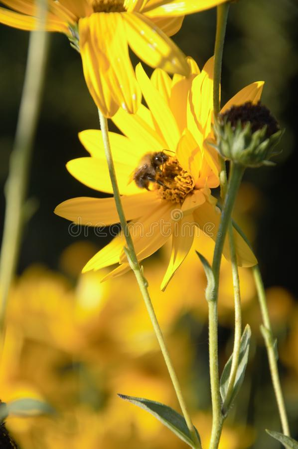 Flowers of the jerusalem artichoke in late fall. Yellow flowers of the Helianthus tuberosus plant in the autumn in my organic vegetable garden being pollinated stock image