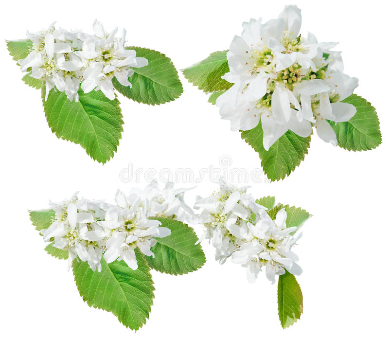 Flowers of juneberry. Bough of juneberry isolated stock photography