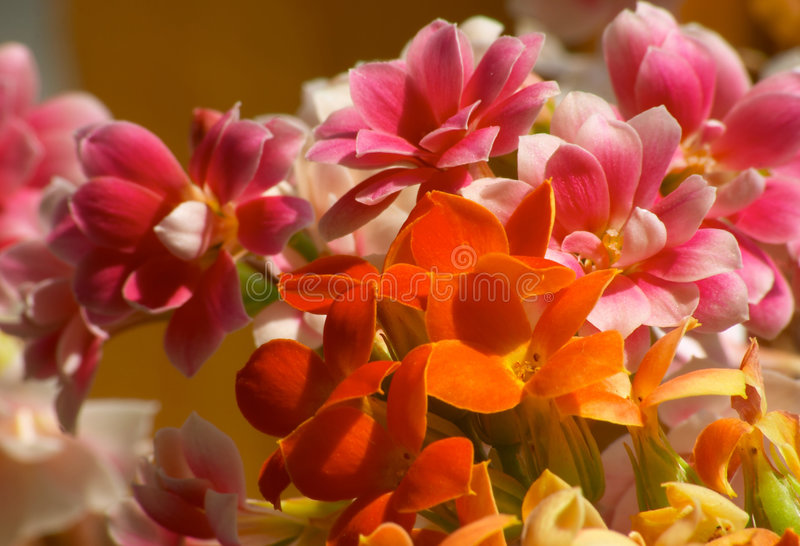 Flowers of Kalanchoe stock image
