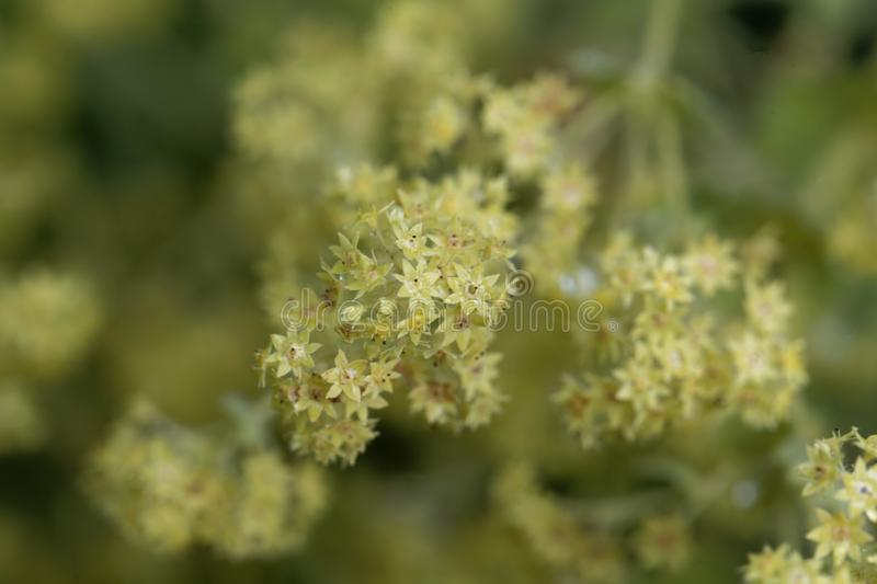 Flowers of the lady`s mantle Alchemilla glaucescens. Macro photo of flowers of the lady`s mantle Alchemilla glaucescens stock photo